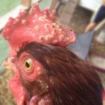 Remedio Casero Para Curar La Viruela En Gallos De Pelea