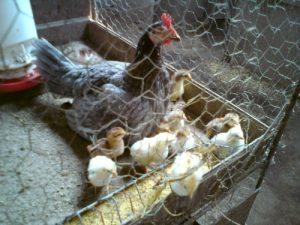 Como Criar Pollos De Pelea Recien Nacidos
