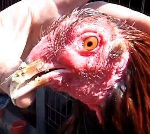 Remedio Para La Coriza Infecciosa En Gallos De Pelea