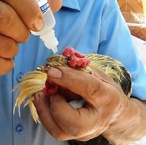 Tratamiento Para los Tumores en gallos De Combate
