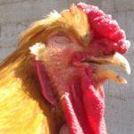 Poderoso Remedio Casero Para El Moquillo En Gallos De Pelea