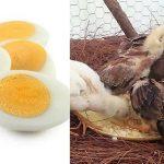 La Importancia Del Huevo Hervido En Pollos De Pelea