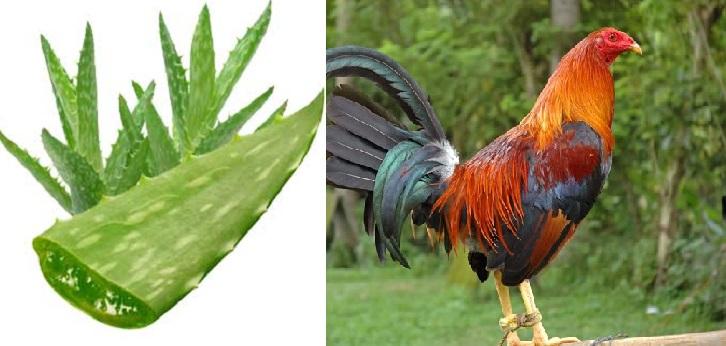 El Uso De La Sabila o Aloe Vera En Gallos De Pelea