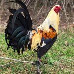 Como Seleccionar Un Gallo De Pelea Para Pie De Cria