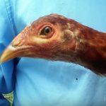 Como Detectar La Gripe o Moquillo en Pollos