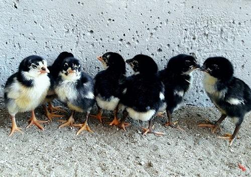 alimento para pollitos de pelea