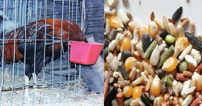por que los gallos comen tierra