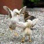 Como Saber Si Un Pollito Es Gallo O Gallina