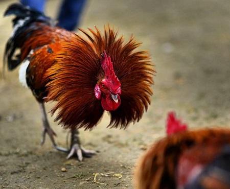 edad ideal para jugar un gallo de pelea
