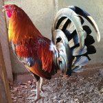 12 Caracteristicas Fisicas De Un Gallo Fino Para Semental