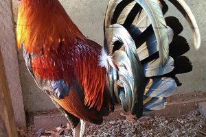 Caracteristicas Fisicas De Un Gallo Fino Para Semental