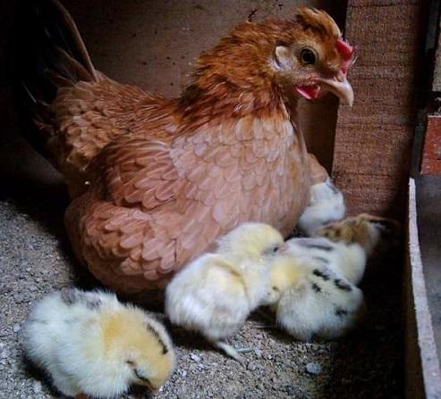 Porque Los Pollos Se Comen Entre Ellos