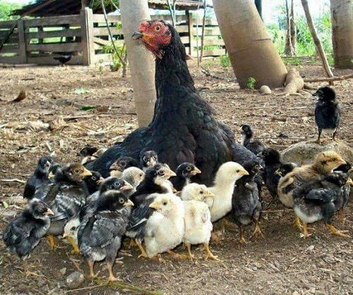 Porque Los Pollos Se Pican Entre Si