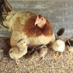 4 Aspectos Importantes Para El Desarrollo De Pollitos Recien Nacidos