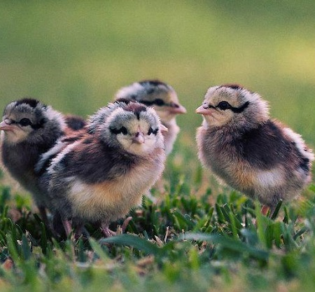 4 Aspectos Importantes Para El Desarrolo De Pollitos Recien Nacidos