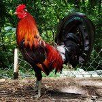 Como Desarrollar La Maxima Potencia De Fuerza En El Gallo De Pelea