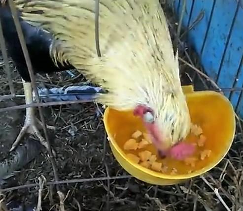 como engordar un gallo de pelea