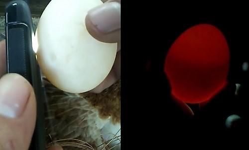 como saber si un huevo esta empollado