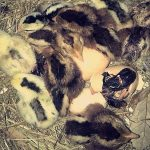 5 Consejos Para La crianza De Pollitos De Pelea Recién Nacidos
