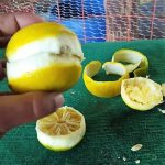 El Uso De La Naranja Para Gallos De Pelea