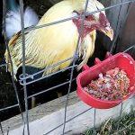 Que Comida Dar A Nuestros Gallos En Cuida