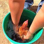 Como Bañar A Un Gallo De Pelea
