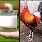 El Uso De La Leche En Gallos, Pollos y Gallinas