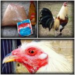 Como Preparar Avena Fermentada Para Pollos De Pelea