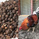 El Uso De La Pimienta Negra En Gallos De Pelea