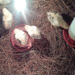Limpieza y Cuidados Que Debes Tener Con Tus Pollos